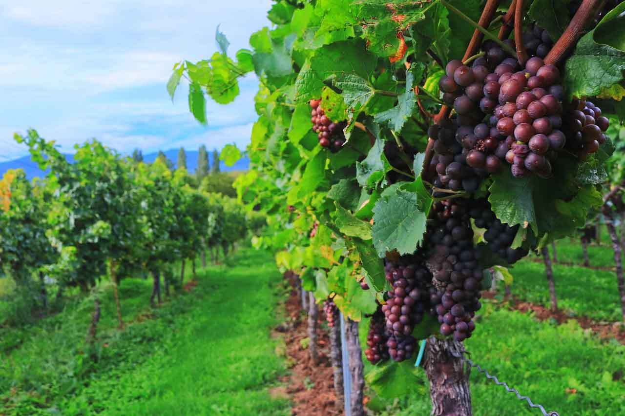 Red grapes on the vine in several rows in a vineyard, all future fruit of the harvest